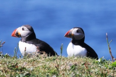 Atlantic puffins on the Isle of Lunga, a Treshnish Isle in Argylle and Bute, Scotland. (Photo by Samantha Oester)