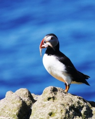 Atlantic puffin carrying food for a chick on the Isle of Lunga. (Photo by Samantha Oester)