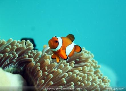 Anemone fish 04