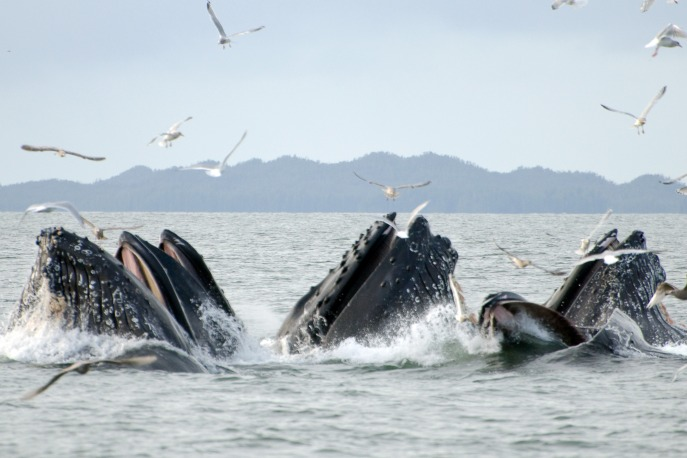 Humpback whales, British Columbia, Canada