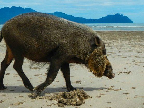 Bako Park pig