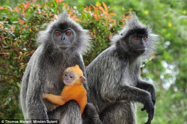 Bako Park silver leaf monkeys