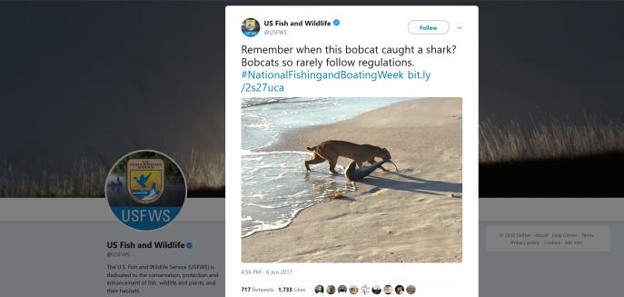 Bobcat shark